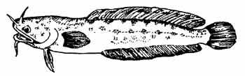 Морской налим (белый)