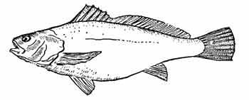 Отолита (рыба-капитан)