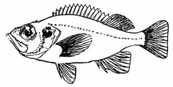 Морской окунь обыкновенный