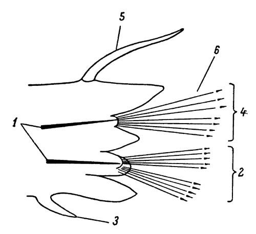 Схема строения параподии