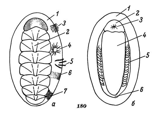 Схема строения хитона, а - вид