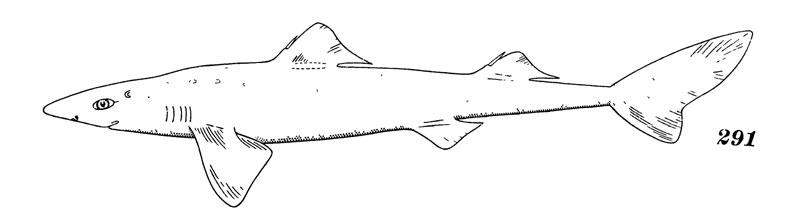 Короткоперая колючая акула